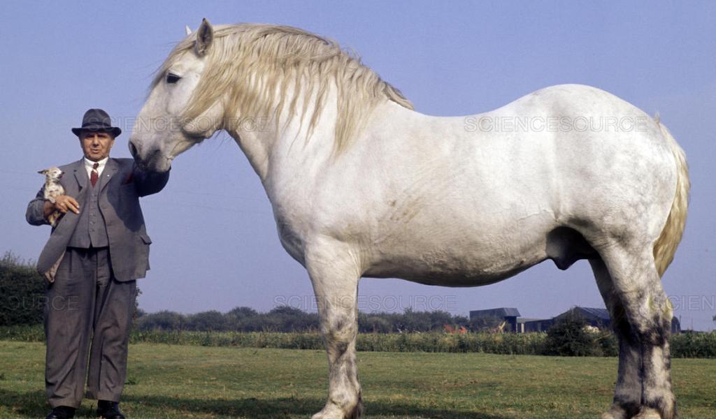 cavalo bretão Branco