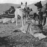 malamute do alasca historia