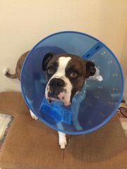 Cachorro atacado por Pitbulls