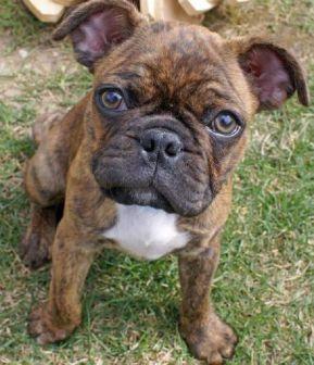 bulldog frances misturado
