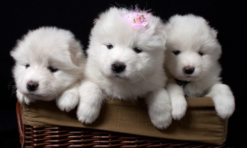 filhotes de samoieda cachorros