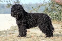 cachorro barbet