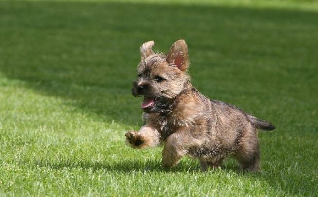 cachorro cairn terrier filhote