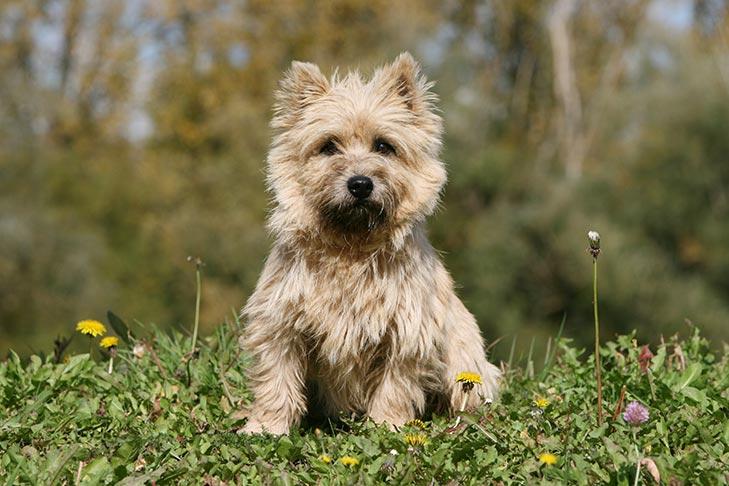cachorro cairn terrier