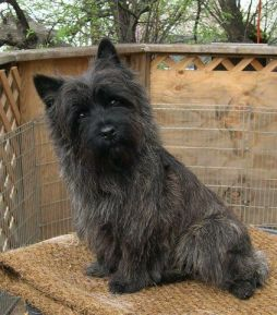 cachorro cairn terrier cinza