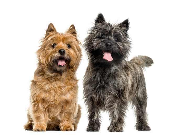 cachorro cairn terrier cores e pelos