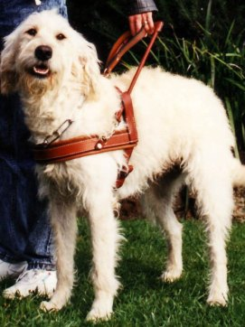 primeiro cachorro labradoodle