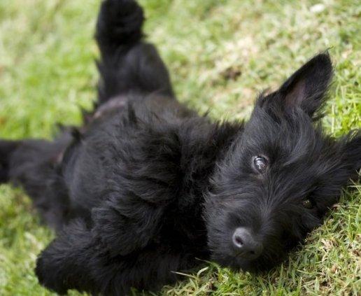 Scottish Terrier filhotes