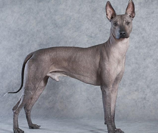 Xoloitzcuintli cachorro