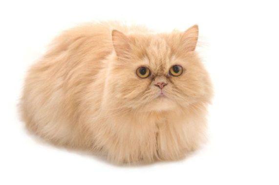 gato persa marelo