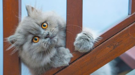 gato persa cinza