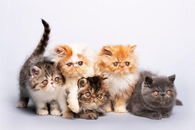 gato persa cores