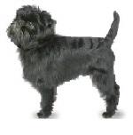 Affenpinscher-cachorro