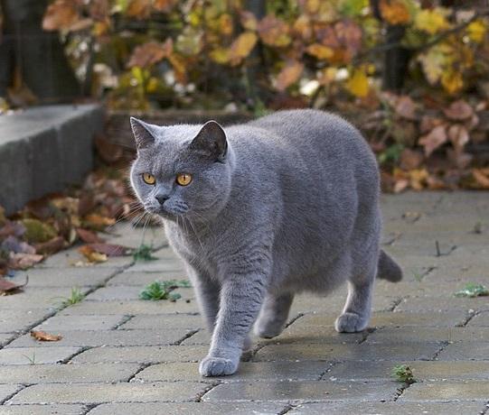 British shorthair cinza claro