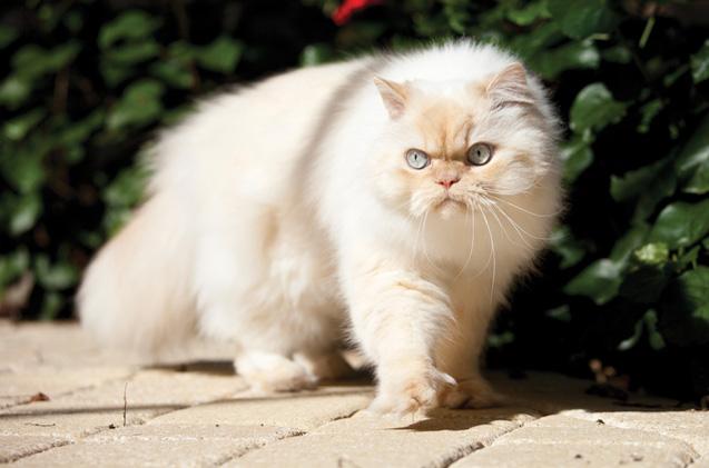 gato himalaio valores