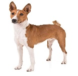 cachorro basenji