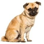 chug cachorro