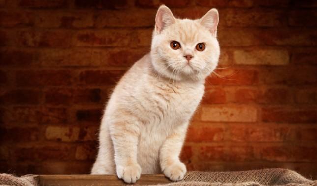 gato de pelo curto ingles branco