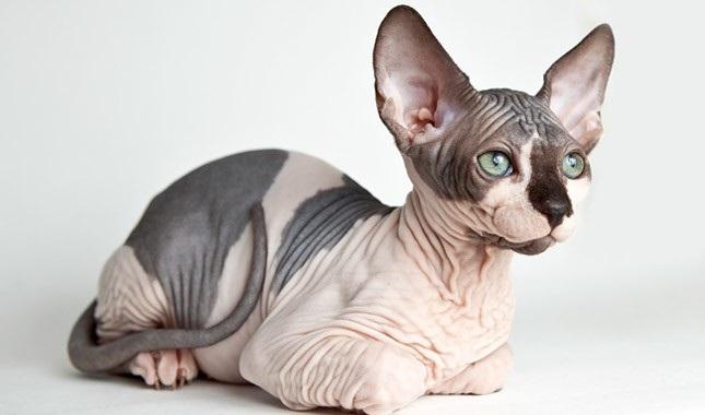 gato egipicio valor