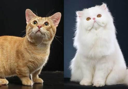 gato persa orginal