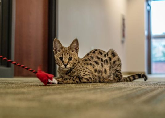 gato savannah filhote