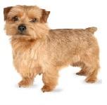 cachorro norfolk terrier