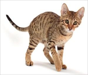 Gato Savannah Tabby