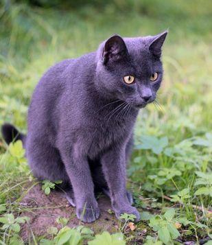 gato russo azul