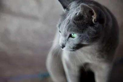 Gato Azul Russo pose