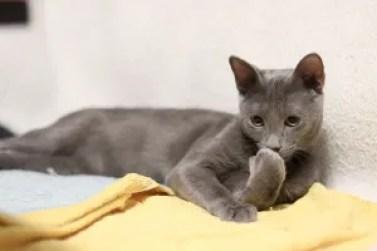 Gato Azul Russo charme