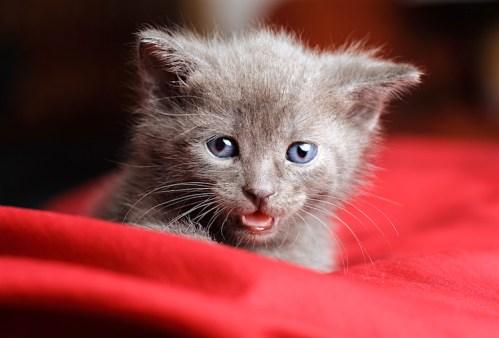 Gato Azul Russo filhote
