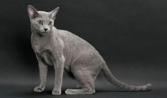 Gato Azul Russo sentado
