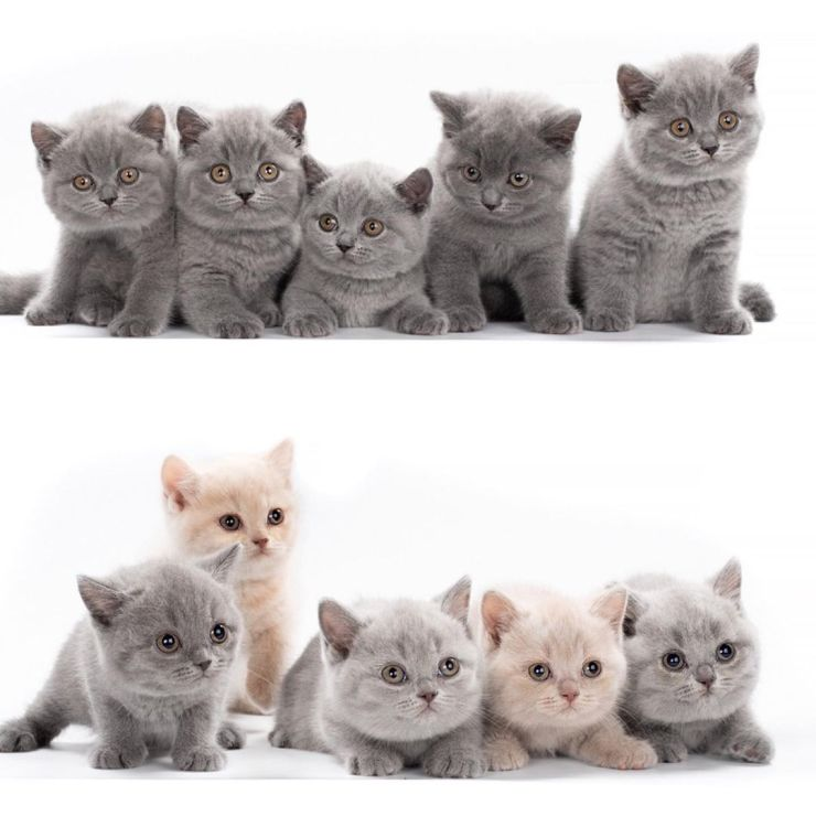 gato de pelo curto cinza filhotes