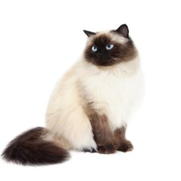 Gato Himalaio branco e chocolate