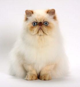 Gato Himalaio branco e laranja
