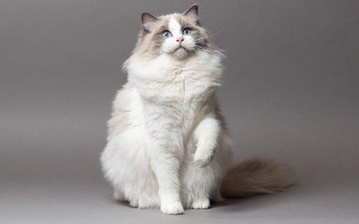 gato-ragdoll-4