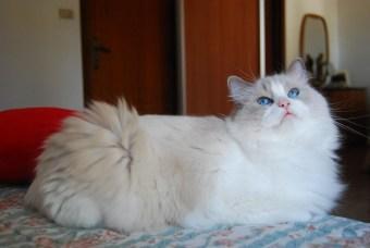 Gato Ragdoll bicolor