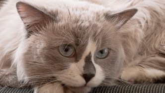 Gato Ragdoll close blue