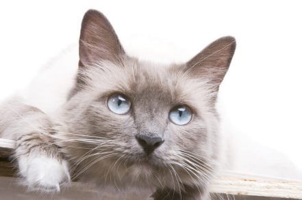Gato Ragdoll blue close