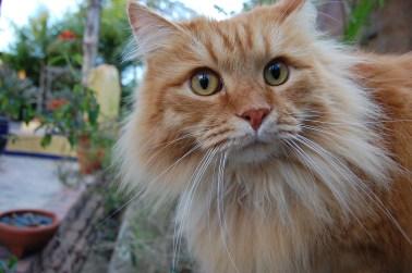 Gato siberiano red