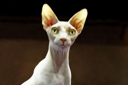Gato Sphynx olhos verdes