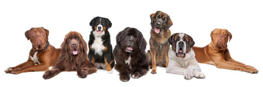 raca de cachorros grandes