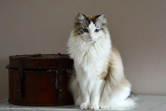 gato ragdoll preco