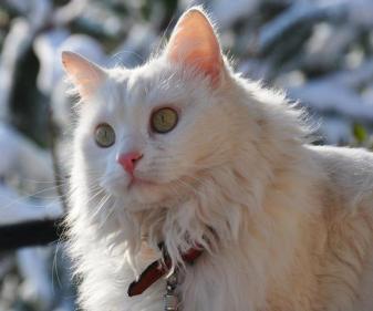 Gato Angorá Branco