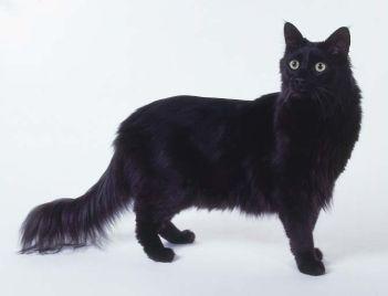 Gato Angorá Preto