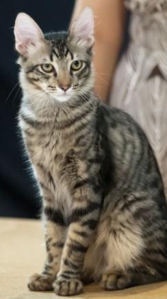 Gato Angorá Tabby