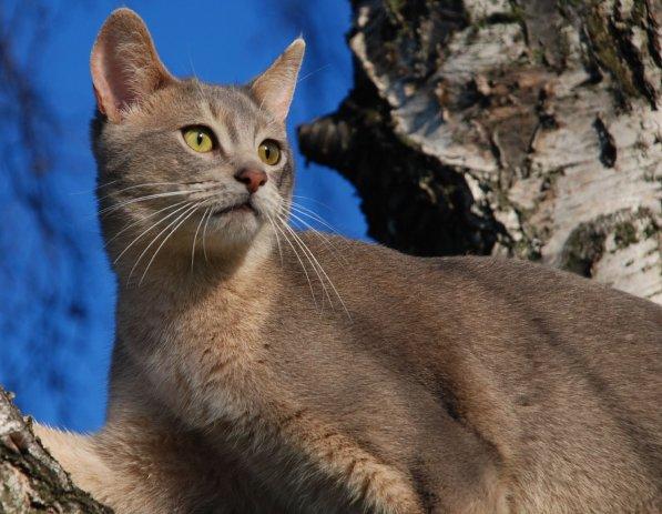 Gato Abissínio blue