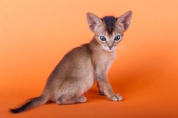 Gato Abissínio filhote