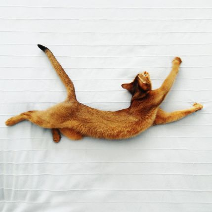 Gato Abissínio saltando