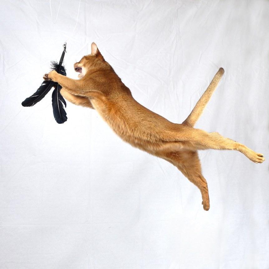 Gato Abissínio salto